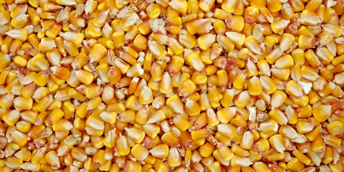 Granos de maíz amarillo